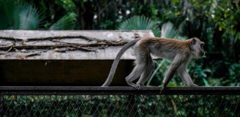 Вместо бороды — хвост обезьяны: в интернете набирает популярность новый тренд