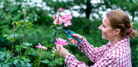 SPETSIALIST SELGITAB | Kas õitsenud lillede õisikud tuleb tegelikult ka ära lõigata ja miks?