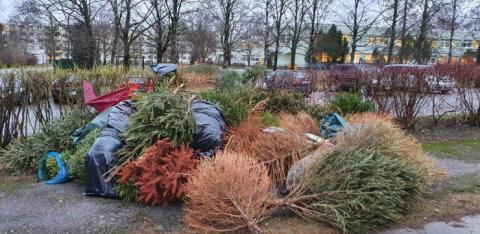 ФОТО | Пункты сбора не помогают: в Хааберсти старые елки доставляют неприятности