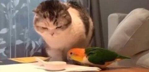 ВИДЕО   Эпичная битва попугая с котом веселит весь Интернет!