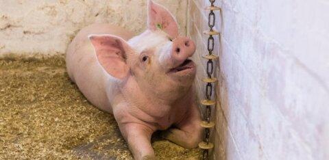 Eesti sigalates pole kaks aastat seakatku tuvastatud