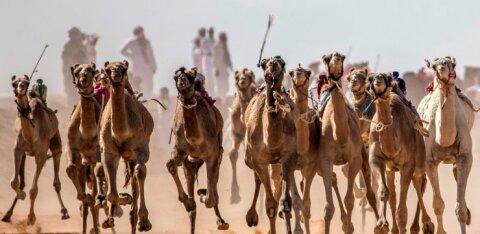 ФОТО | В Шарм-эль-Шейхе начались традиционные забеги верблюдов