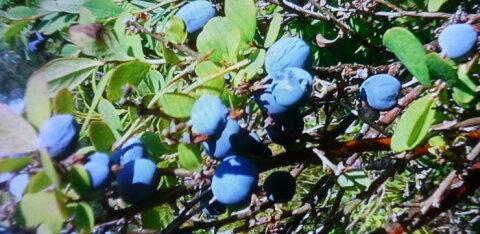 ФОТО читателя Delfi: В лесах Харьюмаа созрела голубика. Она очень полезна!