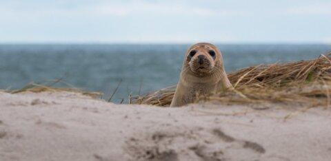 К замеченному на пляже Инглиранд тюлененку лучше не приближаться!