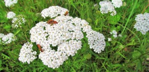 Leili metsalood | Raudrohulõhnane südasuvi