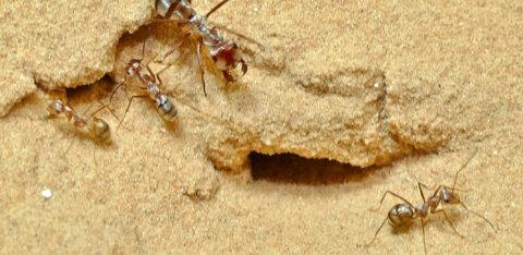 VIDEO | Maailma kiireim sipelgas liigub uskumatult väledalt