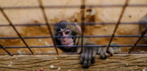 Школьник выпустил на волю 70 обезьян из зоопарка