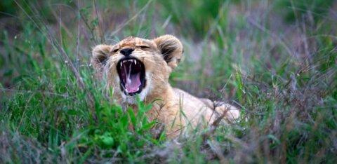 ВИДЕО | Овчарка в российском зоопарке выкармливает брошенных львят