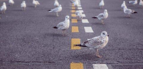 Ornitoloogiaühing kogub andmeid: kui märkad teel hukkunud lindu, anna sellest teada!
