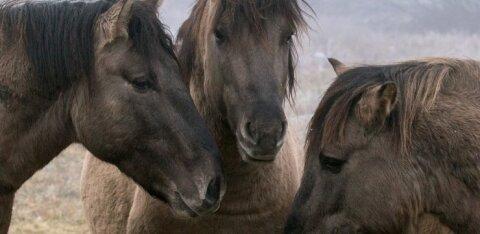 Продолжение воскресной истории: в Таллинне, наконец, выяснили, кто должен заниматься нарушающими порядок лошадьми