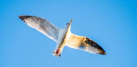 В Кохтла-Ярве подстрелили из пневматики чайку
