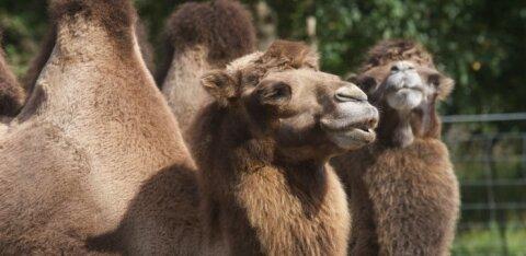 JUHTKIRI | Isamaa tõestagu, et pole kaamel