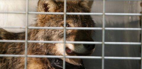 ФОТО: Ужасная находка в карьере Айду. Утопленное животное с камнем на шее может быть спасенным из реки Пярну волком