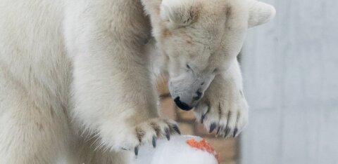 Vene teadlased: jääkarude kannibalismis on süüdi inimene