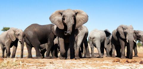 Aafrika riigi värske otsus lubada elevante küttida on tekitanud üllatust ja kriitikat