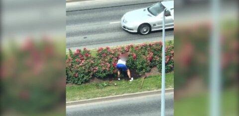 ВИДЕО | Наглая кража розовых кустов на бульваре Сыпрузе: чем все закончилось?