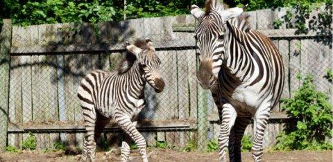 ФОТО | На острове Муху родился хорошенький жеребенок зебры