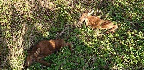 FOTO   Loomakaitsjad leidsid uued põdravasikad, kelle ema oli põgenenud ja loomad saatuse hoolde jätnud