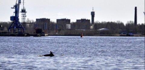 ВИДЕО: Удивительное зрелище — в Риге в водах Даугавы резвится дельфин