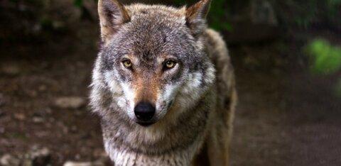 В Литве зафиксированы случаи нападения волков на людей. В Эстонии и Латвии пока все не так страшно