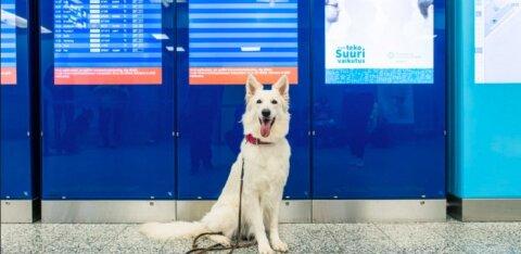 ФОТО | В аэропорту Хельсинки собаки будут искать COVID-19