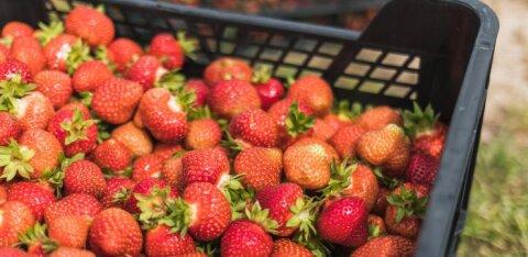 ГРАФИК | Смотрите, как отличаются цены на местную клубнику в Эстонии и Финляндии