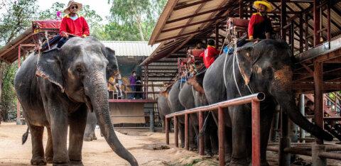 В Таиланде из-за коронавируса освободили слонов от тяжелой ноши. Впервые за 44 года!