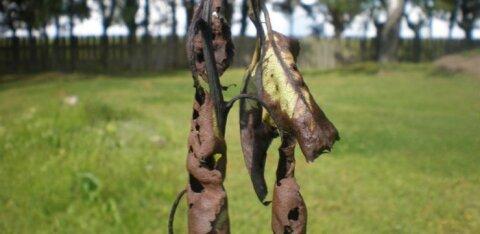 Räpina Aianduskool ostab tagasi viljapuu-bakterpõletiku haiguskahtlusega õunapuuistikud