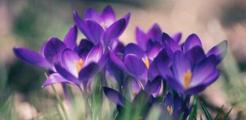 ФОТО | В Латвии цветет самая большая в мире коллекция крокусов