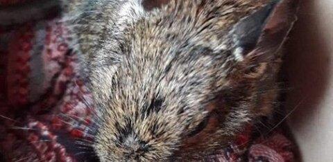 ФОТО | Позорный случай в Ласнамяэ: владелец дегу отправил домашнего любимца в мусорный бак
