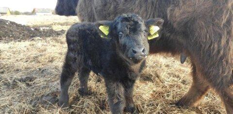 МИЛЫЕ ФОТО: В стаде быков шотландской горной породы с хутора Рийда — пополнение!