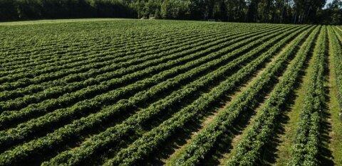 PÕHJALIK ÜLEVAADE | Kurjategijateks tembeldatud maasikakasvatajad. Kui kasumlik nende äri on? Töötajate arv teeb äkilisi hüppeid