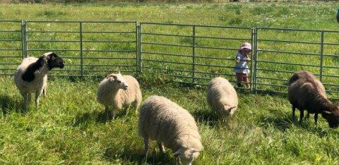 AVATUD TALUDE BLOGI | Rahvas läks liikuma: vaadatakse lambaid, rüübatakse õlut, käiakse laudas ja põllul