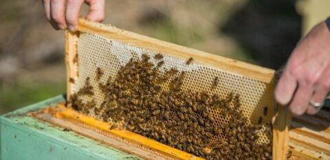 Doktoritöö tuvastas Eesti mesindussaadustes 17 erineva taimemürgi jääke