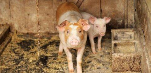 Seatööstuse hästi varjatud saladus: suure stressi all kannatavatel sigadel lõigatakse julmal viisil ära sabad