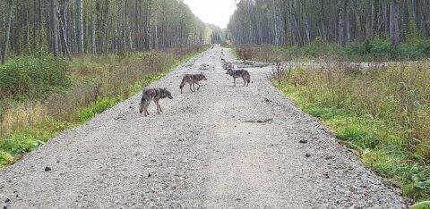 FOTOD   Raplamaal koeri kimbutanud kolm hunti arvatavasti näitasid end metsameestele ka paar päeva varem