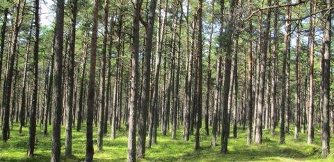 RMK selgitab: raierahu perioodil tehakse lageraieid vaid haigetes metsades ja alusmetsata männikutes