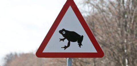 Ettevaatust, konnad teel! Konnade kevadränne ja konnatalgud on taas alanud