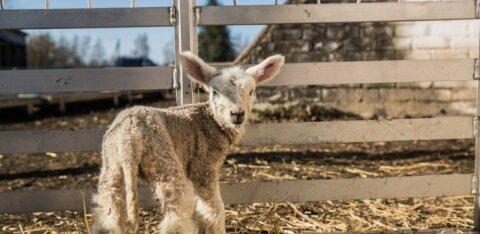 Eesti tõulammaste aretusühing teeb lambakasvataja elu lihtsamaks