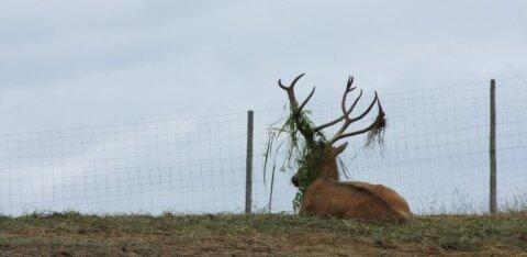 В Виймси лось запутался в сетке футбольных ворот