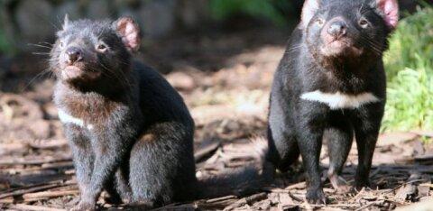 Väljasuremisohus Tasmaania kukkurkuradid taasasustatakse metsikusse loodusesse
