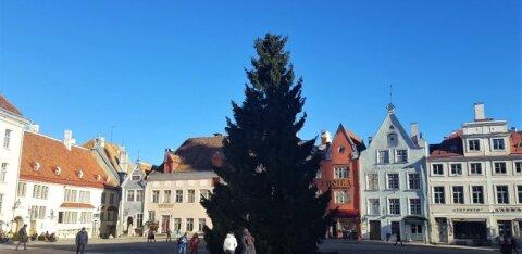 Рождественская ель с Ратушной площади будет повторно использована на праздновании Ночи древних огней