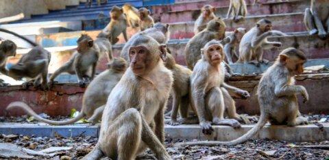 ВИДЕО | Город в Таиланде захватили обезьяны
