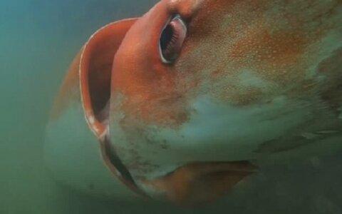 Чудовище морских глубин: гигантский кальмар Арчи, который удивил даже ученых