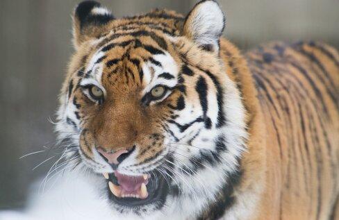 ÜLEVAATLIK AJAJOON | Kuhu ja miks Tallinna loomaaia tiiger Pootsman läks, millal ta tagasi tuleb ning millal valmib Tiigriorg?