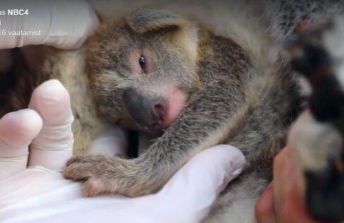 IMEARMAS VIDEO | Austraalia rahvuspargis sündis pärast maastikupõlenguid esimene koaalapoeg