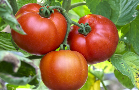 Miks tasub meil kasvuhoonesse valida just varajased tomatisordid?