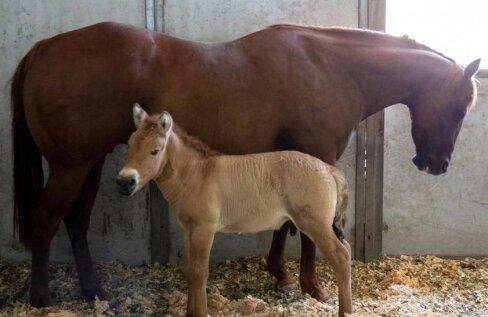 VIDEO | Väljasuremisohus hobusetõugu õnnestus kloonida
