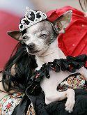 Kroonitud koer
