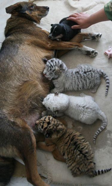 Koer lapsendas kolm tiigrit